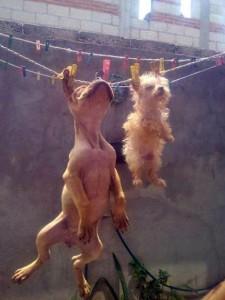 perros-colgados-tendedero