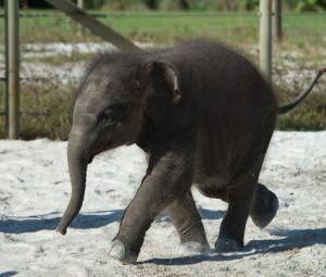 elefante-bebe
